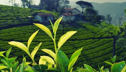 Know your tea and why you must  buy it